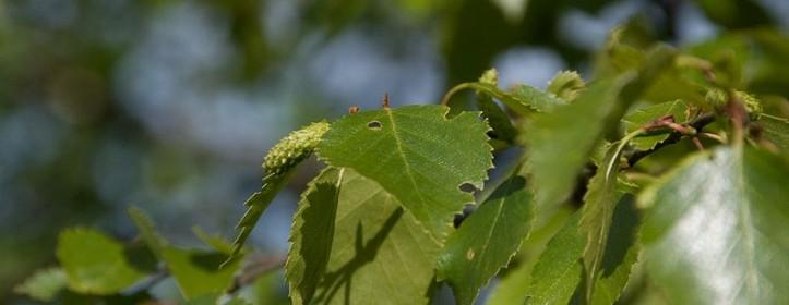 Birch Leafminer